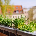 Bio vom Balkon: Gewürze und Kräuter selber ziehen